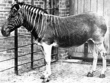 The Tiger's Pouch and Equid DNA: the Danger of Wearing Stripes.