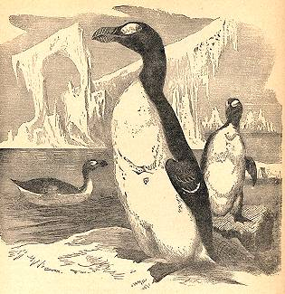 The Great Northern Penguin and other bird brains