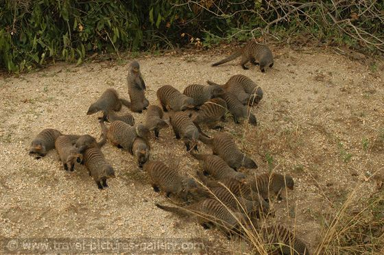 The Considerate Mongoose.