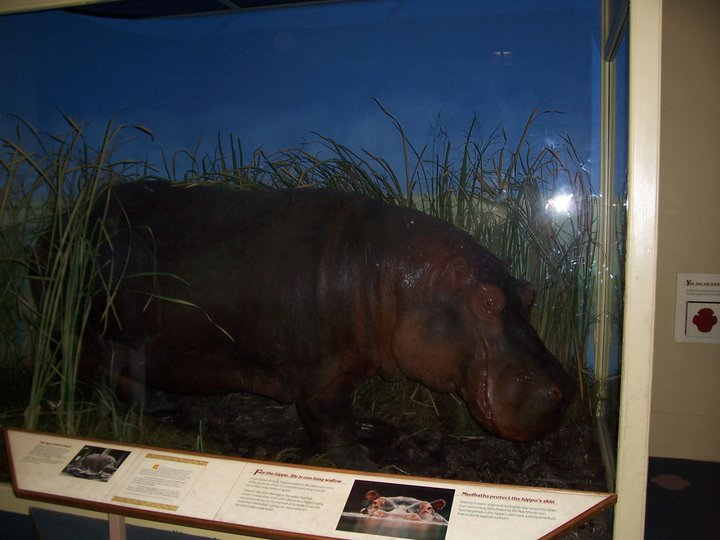 The WPA Hippo at the Field Museum